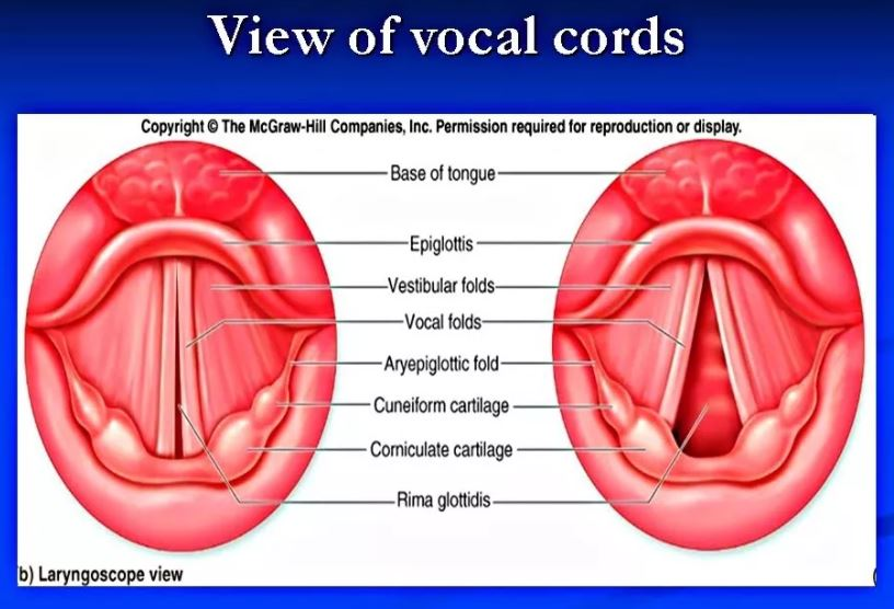 view of vocal cords假聲帶與假聲的關係